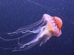 san-francisco-27-meduza-v-aquarium-of-the-bay.jpg
