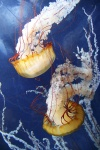 san-francisco-28-meduzy-v-aquarium-of-the-bay.jpg