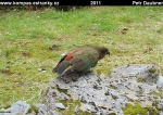 nz-south-island-10-papousek-kea.jpg