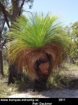 tasmania-20-grass-tree.jpg