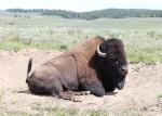 usa--wyoming-yellowstone-np-bizon--bison-bison--01.jpg